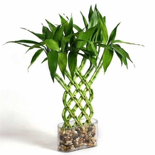Planta m gica el bamb de la suerte tarot y cartas madrid - Bambu planta exterior ...
